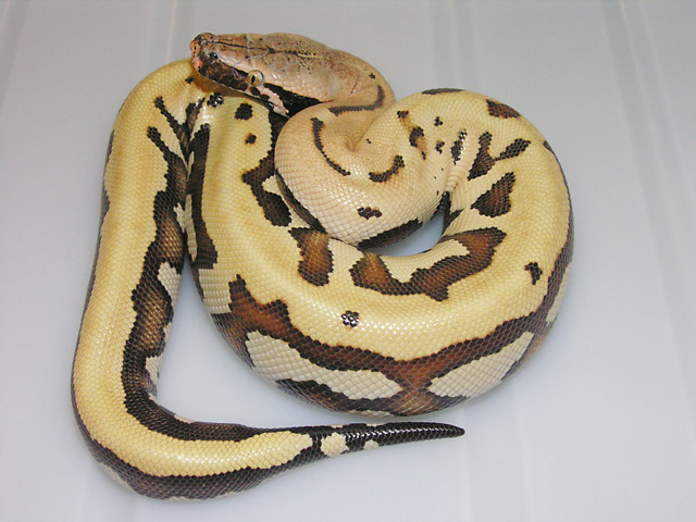 VPI GOLDEN EYE 66% HET ALBINO FEMALE