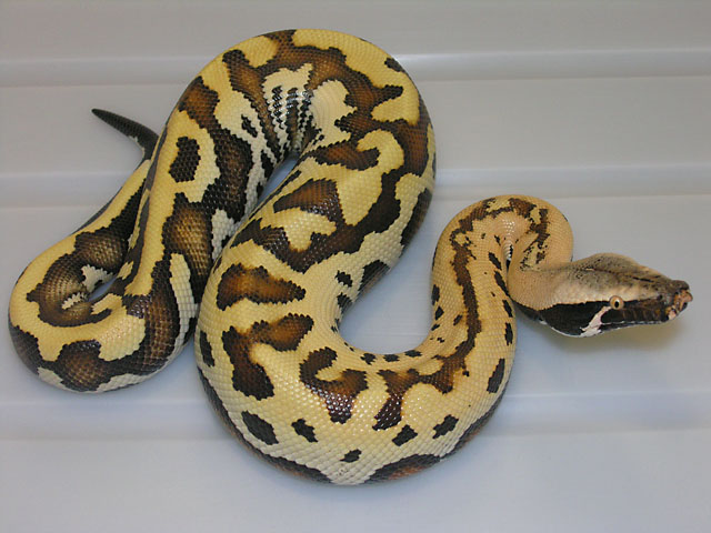 "VPI ""Golden Eye"" Red Blood Python"