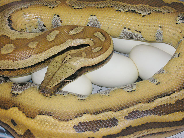 100% het Lavender Albino on eggs 04/30/10