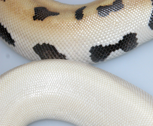 RED BLOOD PYTHON:MAGPIE.....VARIANT......NEXT TO REDUCED GOLDEN EYE OR REALLY PATTERNED MAGPIE...