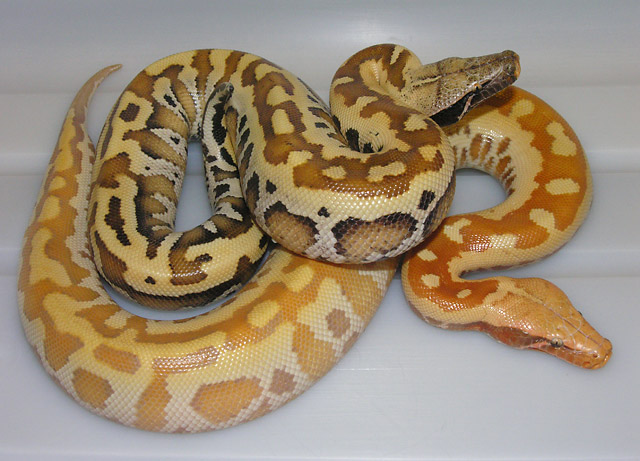 VPI ALBINO MATRIX AND MATRIX 01/28/11