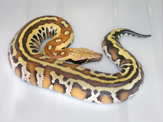 NEW CODOM MORPH OF BLOOD PYTHON: THIS BABY IS WHAT I THINK IS THE CODOM OF THE SUPER IN THE PHOTO BELOW