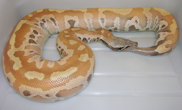 "VPI ""PINK"" FEMALE RED BLOOD PYTHON MOM OF NEW PINK BABIES"