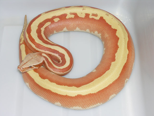 """Super"" Stripe, Sunglow Red Albino Blood Python female 060108: I really hope we hatch some more like this girl from the clutch we got from her parents today!"