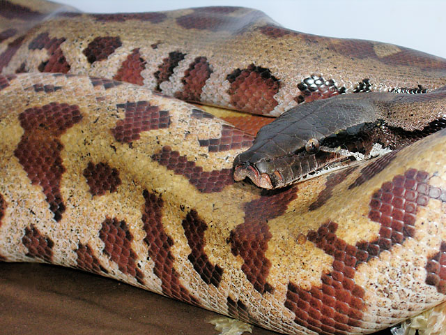 "New morph ""Super"" Red Blood Python Python brongersmai"
