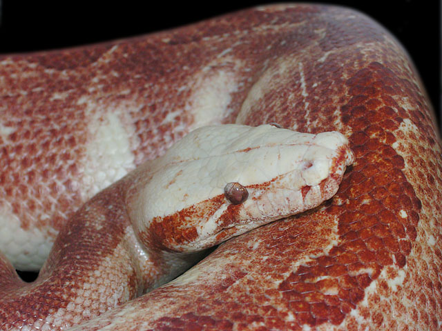 "White Head Red ""Motley"" tneg Red Albino Blood Python"
