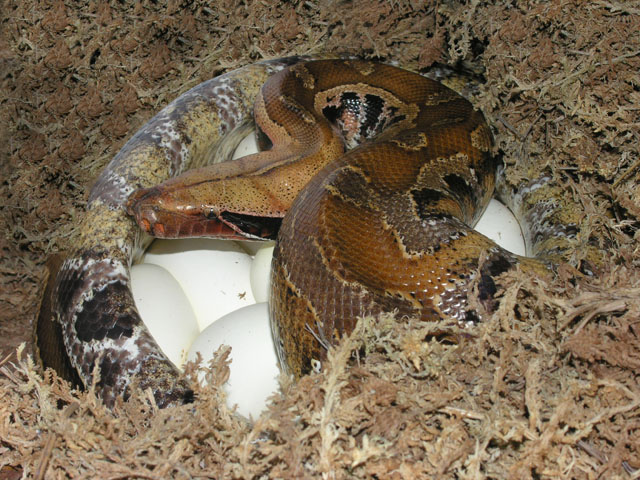 Female descended from male Marble Borneo Short-tail Python on 13 eggs 052608
