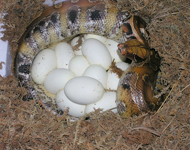 Female descended from Male Marble Borneo short tail python on 13 eggs 052608