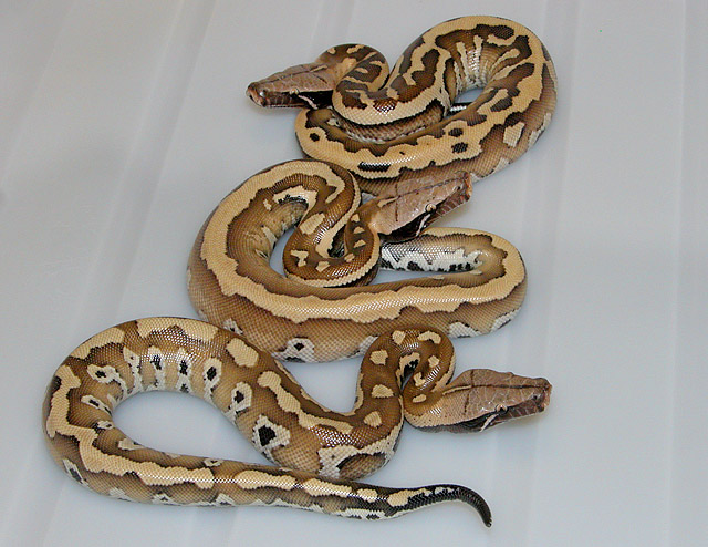 NEW VPI DOMINANT RED BLOOD PYTHON BABIES 2011