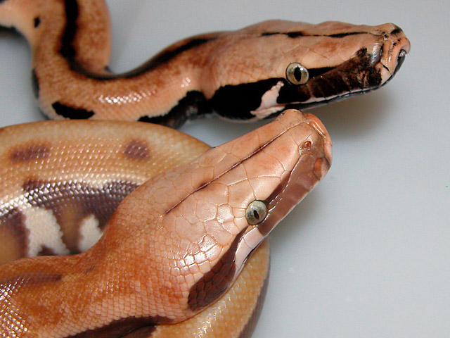 VPI ALBINO GOLDEN EYE AND GOLDEN EYE 100% HET ALBINO RED BLOOD PYTHON BABIES HATCHED 06/11