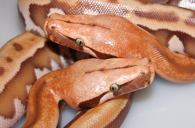 VPI ALBINO GOLDEN EYE RED BLOOD PYTHON BABIES HATCHED 06/11