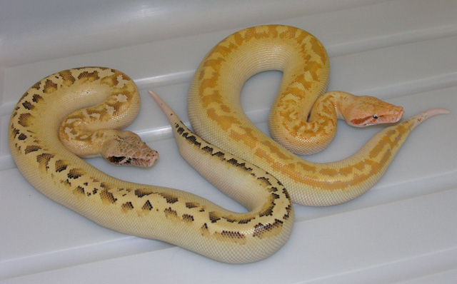 VPI ALBINO IVORY AND IVORY 66% HET FOR ALBINO 01/28/11