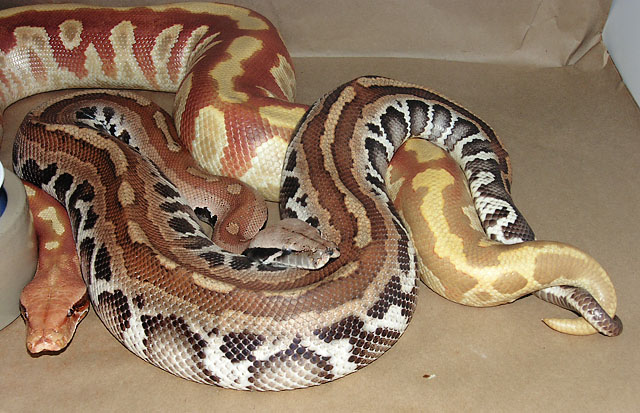Frost Bite Blood Python Male Breeding Albino Female