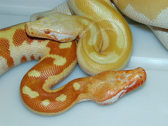 YEARLING VPI ORANGE TNEG PYTHON BRONGERSMAI CBCH 2010.: COLOR PHASES IN THE SAME TNEG MUTATION!!