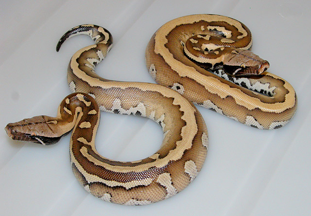 VPI NEW DOMINANT RED BLOOD PYTHON  2011