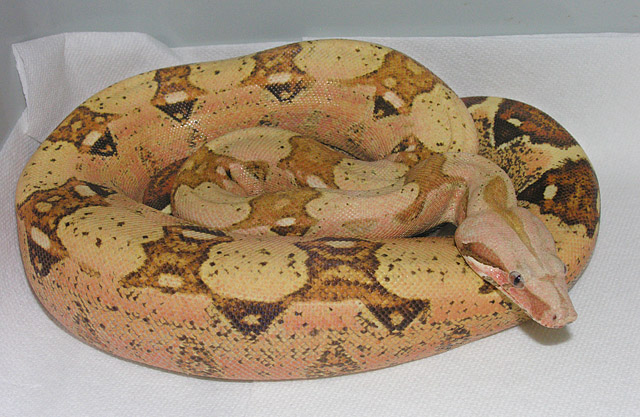VPI PINK PANTHER BOA CONSTRICTOR FEMALE 2009