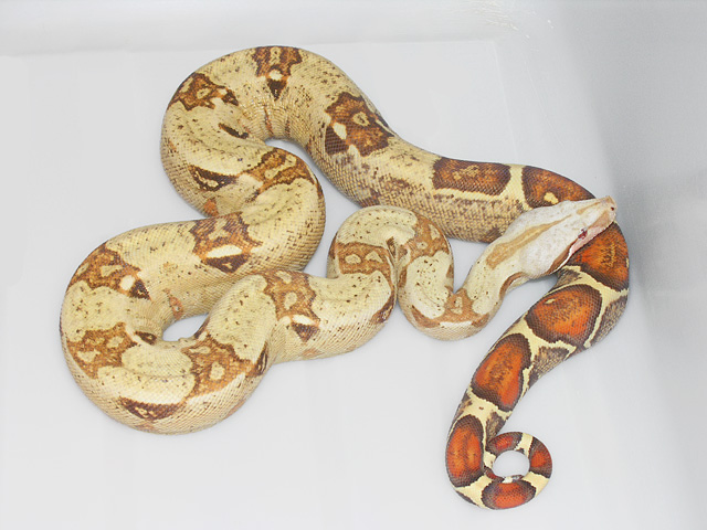 VPI Caramel Albino Boa 2007: I just love these snakes, and they are my favorite boa project here at VPI.