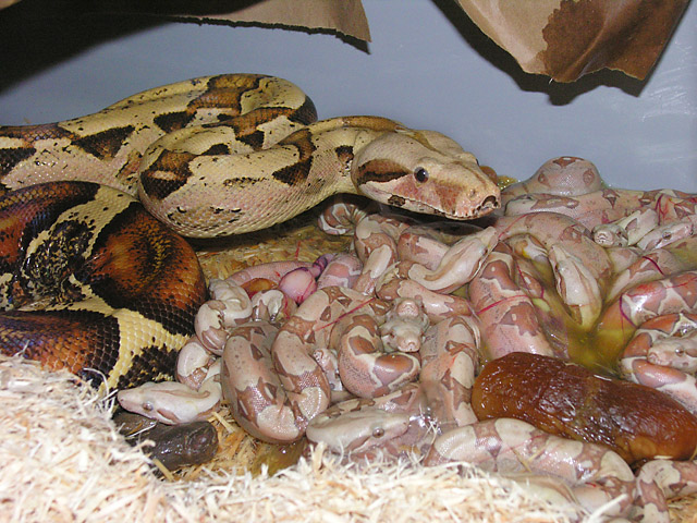 Mom with newborn VPI Pink Panther Caramel Albino Boa babies born 05/26/10