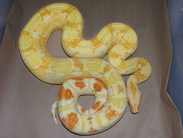 VPI SHARP ALBINO BOA CONSTRICTOR FEMALE 2007