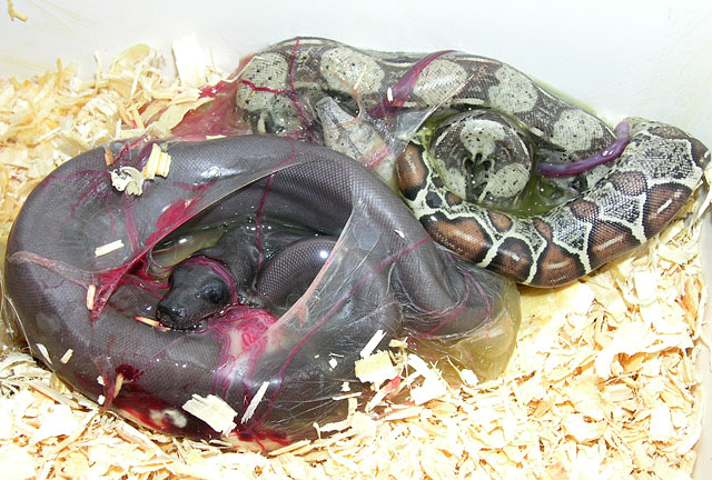 super motleys 100% het albino and motleys 100% het albino