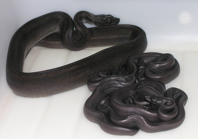 Super Motley born 05/07 and newborn super motleys 100% het albino born 062008
