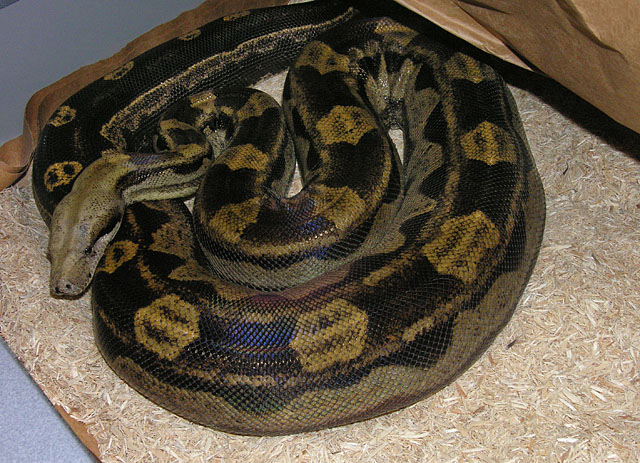 VPI FEMALE MOTLEY BOA CONSTRICTOR ON HEAT DURING GESTATION 02/28/11