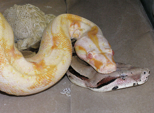 MARRON FEMALE AND SHARP ALBINO MALE BREEDING 03/08/11