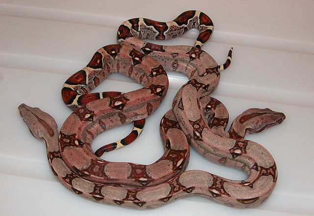 MARRON 100% HET VPI CARAMEL ALBINO POST SHED 06/01/11: DARK AND LIGHT!