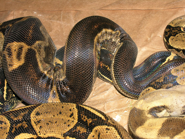 Motley Boas Breeding