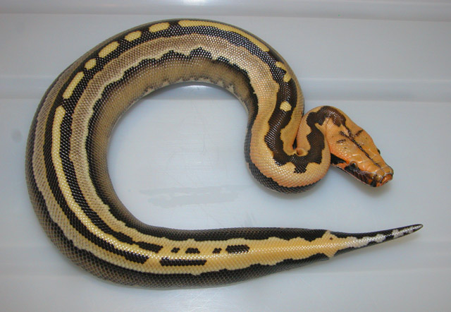 BORNEO PYTHON PYTHON BREITENSTEINI SUPERSTRIPE MALE