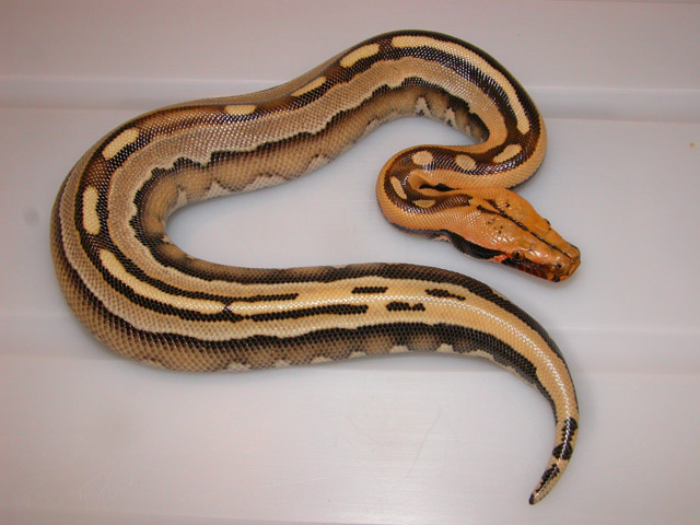 BORNEO PYTHON PYTHON BREITENSTEINI SUPERSTRIPE MALE #3