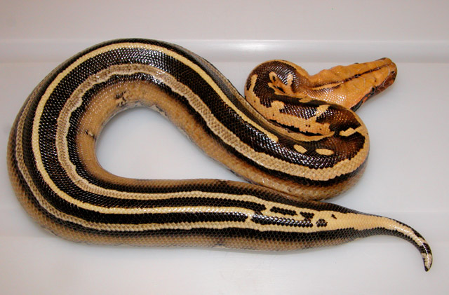 BORNEO PYTHON PYTHON BREITENSTEINI SUPERSTRIPE FEMALE