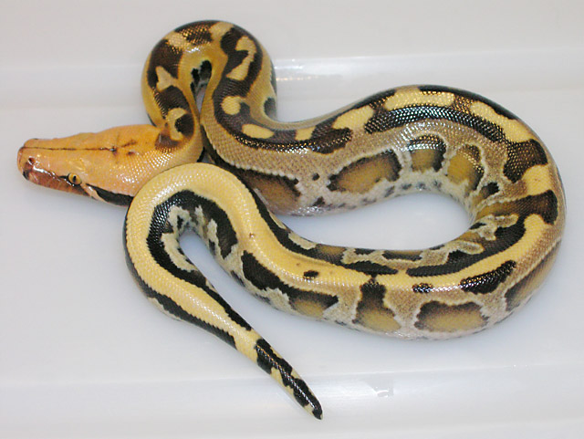 Super Stripe Het Ultra Borneo Short Tail Python from Super Stripe Het Ultra x same clutch