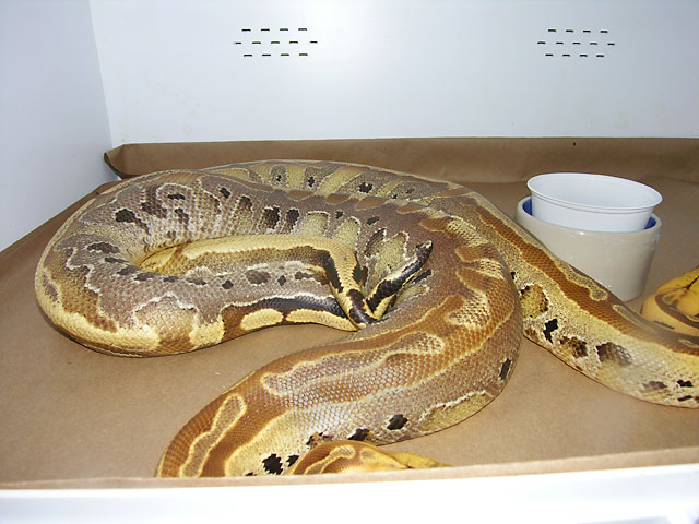 "Breeding pair of Borneo Short Tail pythons that are ""Ultrabreits"""