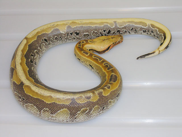 Ultrabreit Borneo Short Tail Python #070810 M5