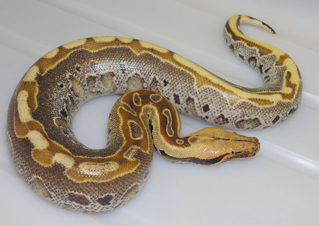 Ultrabreit Borneo Short Tail Python #070810 M2