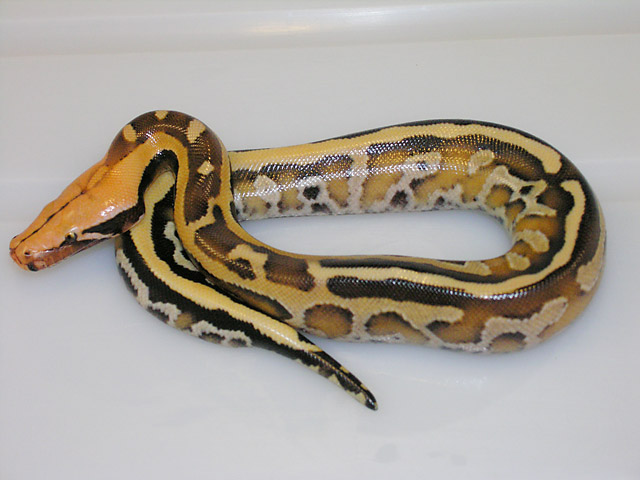 Super Stripe Borneo Short Tail Python from Super Stripe Het Ultra x same clutch