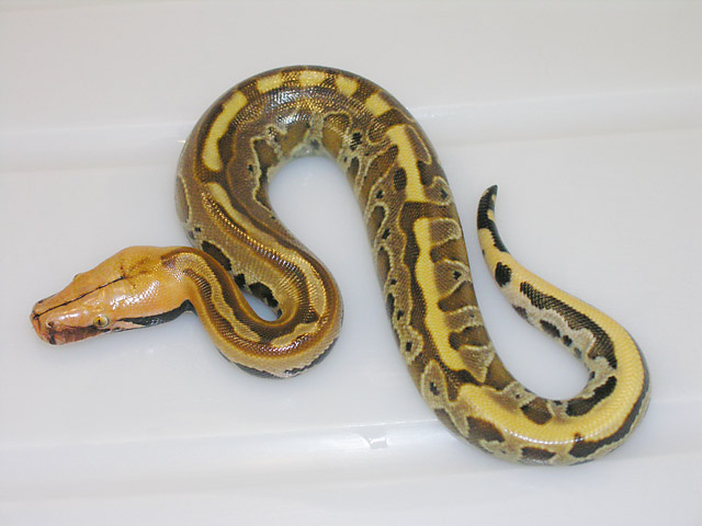 Ultra Borneo Short Tail Python from Super Stripe Het Ultra x same clutch