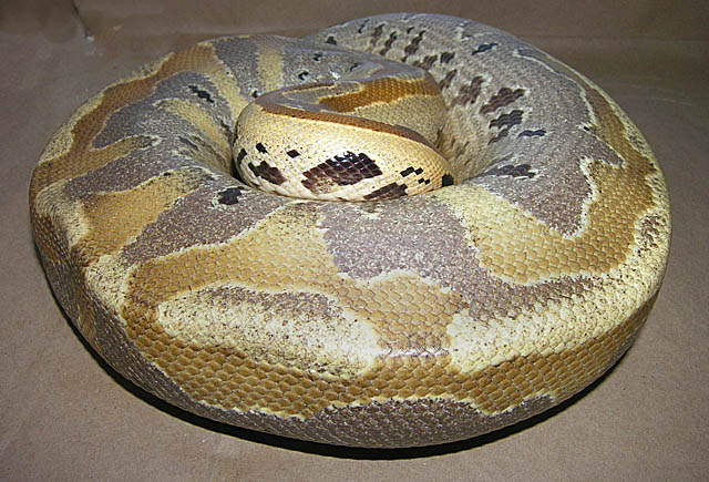 Ultrabreit Borneo Short tail python post ovulation