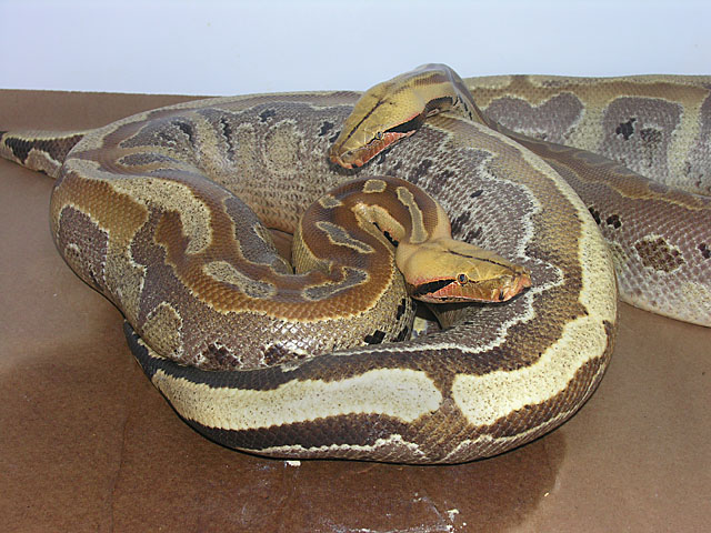 Ultrabreit Borneo Short tail python ovulation
