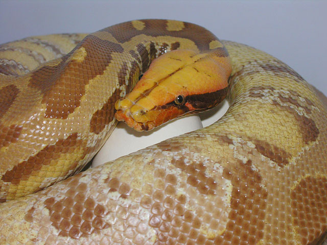 VPI Caramel Albino Sumatran Short Tail Python on eggs 06/24/10