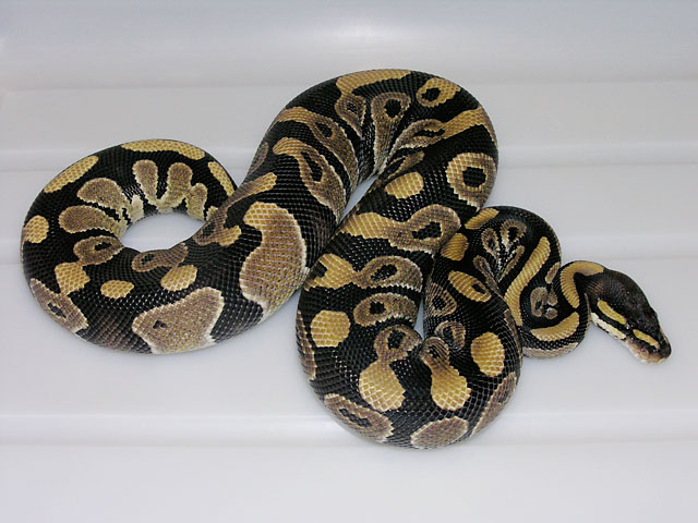 Pastel mystic ball python - photo#20