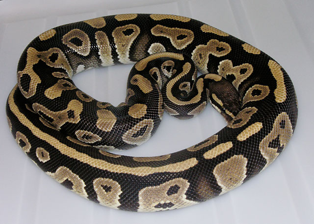 VPI PHANTOM BALL PYTHON BREEDER