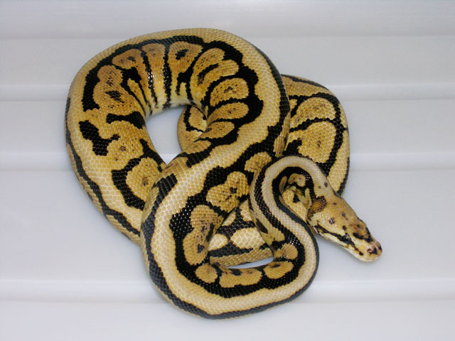 VPI POWERBALL (SUPER SPOTNOSE) BALL PYTHON BREEDER MALE