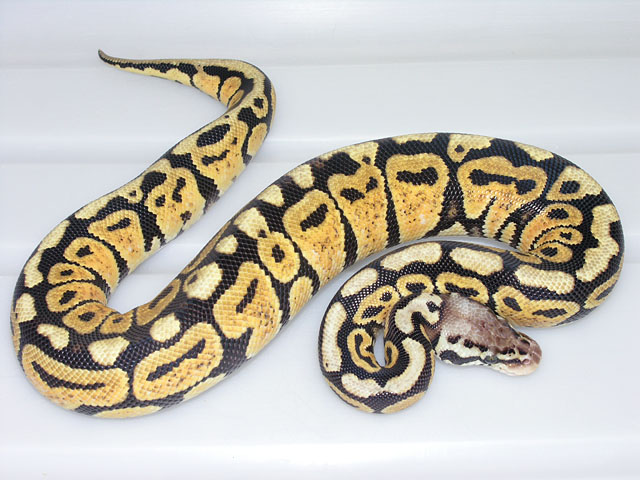 One year old Pastel Spot-nose Ball Python: This year old male Ball Python hatched in summer of 2007, he will be ready to breed in spring of 2009.