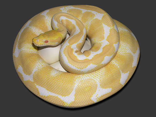 2008 VPI yellow head albino on eggs: This is a snake that we hatched in 2004 from our yellow head albino female.
