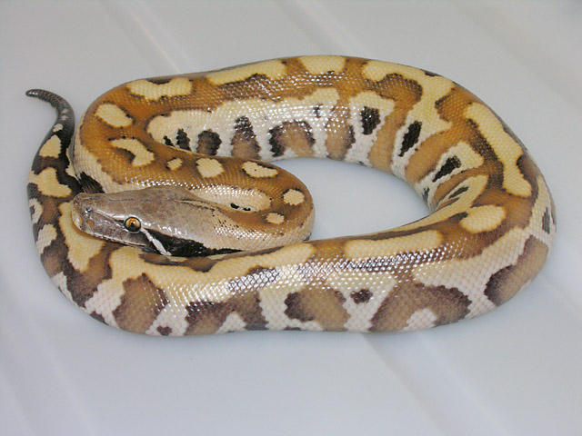 "NEW VPI DOMINANT ""PINK"" RED BLOOD PYTHON NOVEMBER 15, 2010"