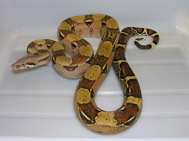 2008 DOUBLE HET SHARP ALBINO/VPI CARAMEL ALBINO MALE