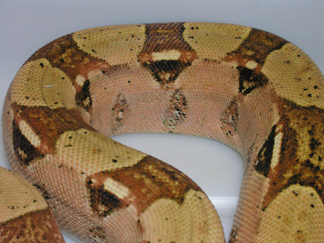 2008 DOUBLE HET SHARP ALBINO/VPI CARAMEL ALBINO MALE BOA