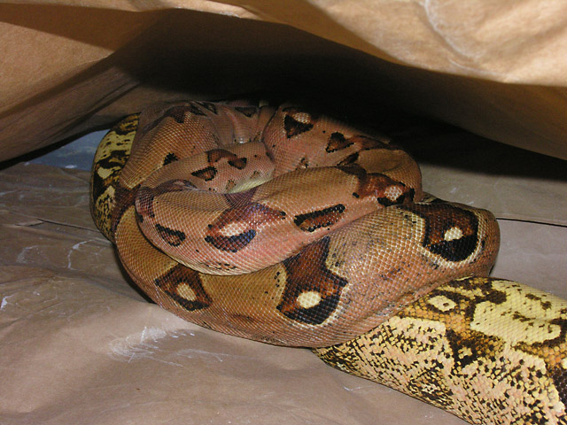 MALE MARRON BOA GUARDING FEMALE VPI PINK PANTHER CARAMEL ALBINO BOA 02/11